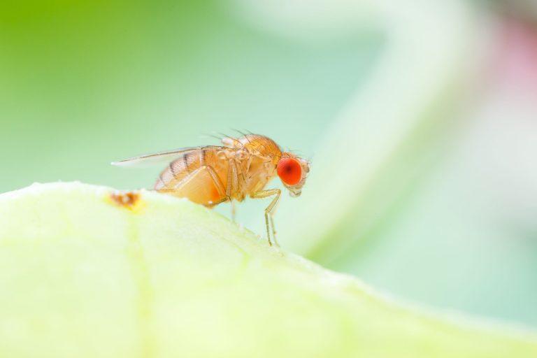 junge Fruchtfliege