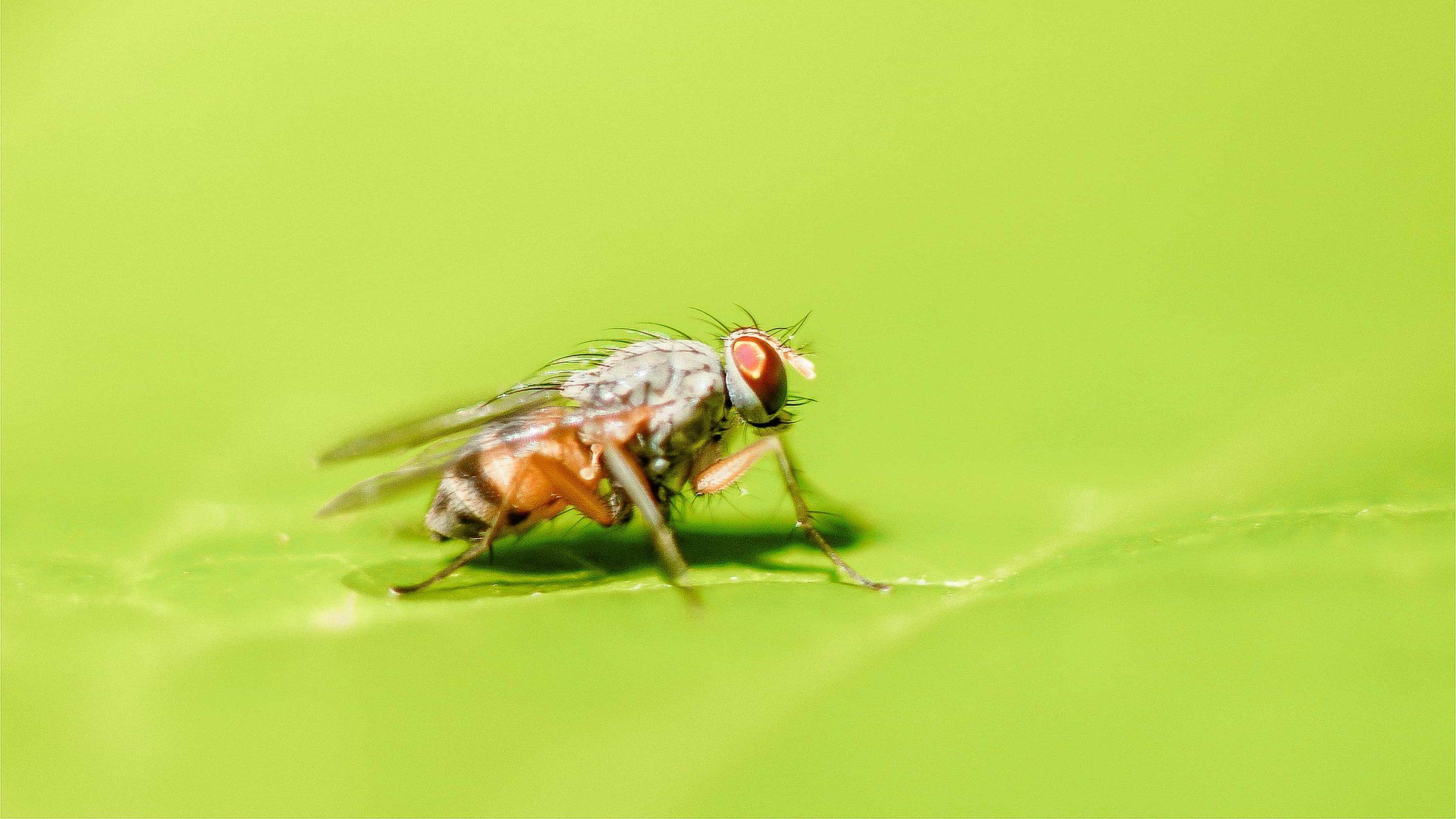 Obstfliegen bekämpfen: Wertvolle Tipps und Tricks